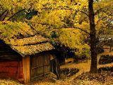 银杏绘就秋天的童话