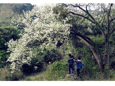 游客赶在板城梨花花期即将结束前前来观赏