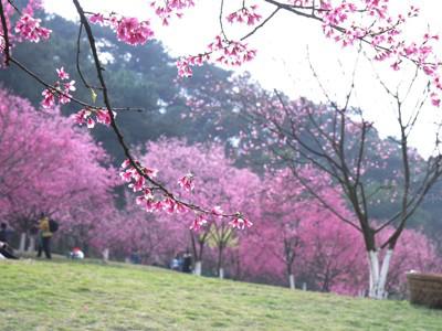 绿城樱花竞相绽放 游客赶在节前观赏