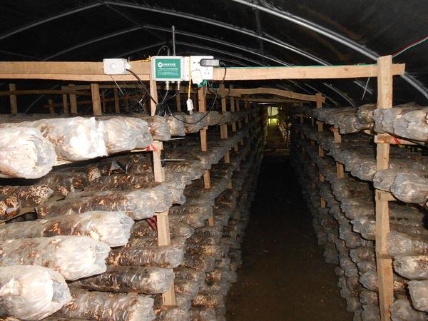 广西全州县龙水镇采用免割保水膜袋发展香菇生产