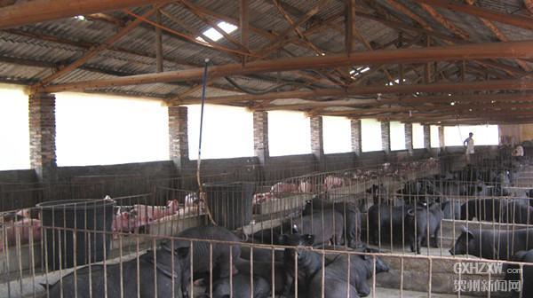 八步区桂岭镇:饲养香猪成为群众致富新渠道