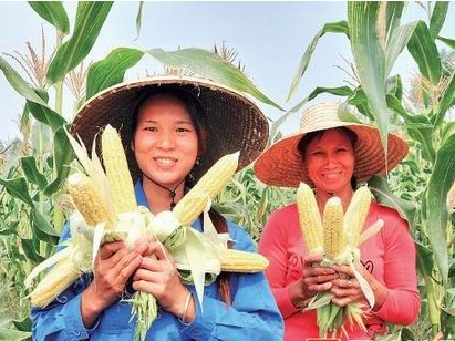 """[博白县]成功引种可以生吃的""""水果玉米"""""""