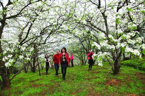 灌阳县江东万亩水果带:梨花开
