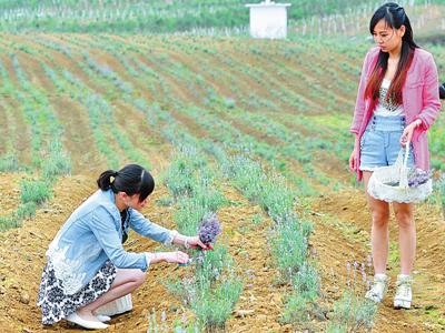 忻城全球最大连片薰衣草庄园解读 欧陆风情邂逅壮乡风光