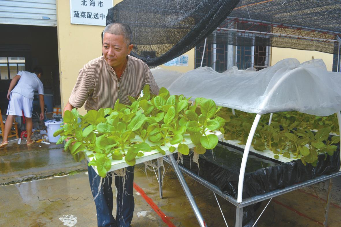 北海市蔬菜研究所使用水培方法成功育出蔬菜