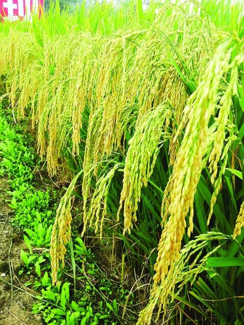 桂林市今年粮食总产量有望突破200万吨