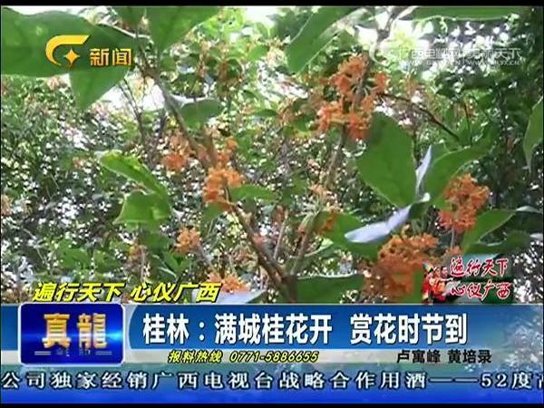 桂林:满城桂花开 赏花时节到