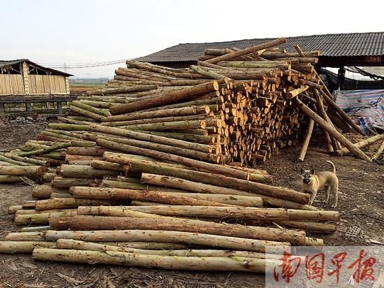 桉树产业链走到十字路口 木材厂或