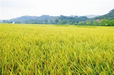 巴马甲篆镇百马村丰收在即的富硒稻生产示范基地