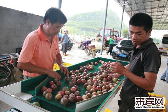 忻城县城关镇尚宁村千亩百香果种植示范基地喜丰收