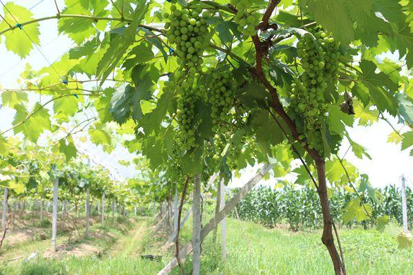 图为葡萄挂满藤架