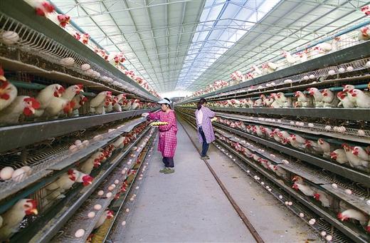 隆林县引进十万羽蛋鸡龙头企业