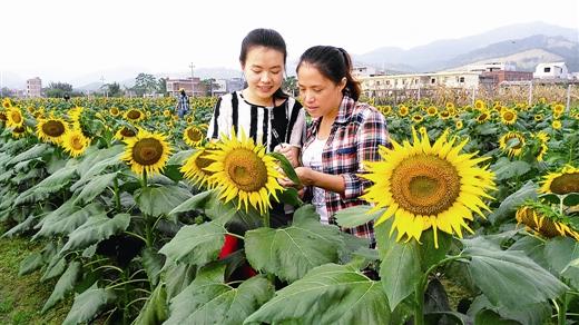 港北区龙井村花卉主题公园的80余亩连片油葵盛开