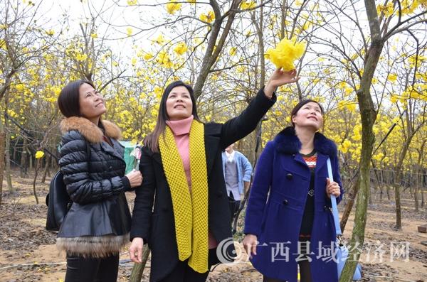 图三:游客在欣赏美艳的黄花风铃。林启波 摄DSC_5445.jpg