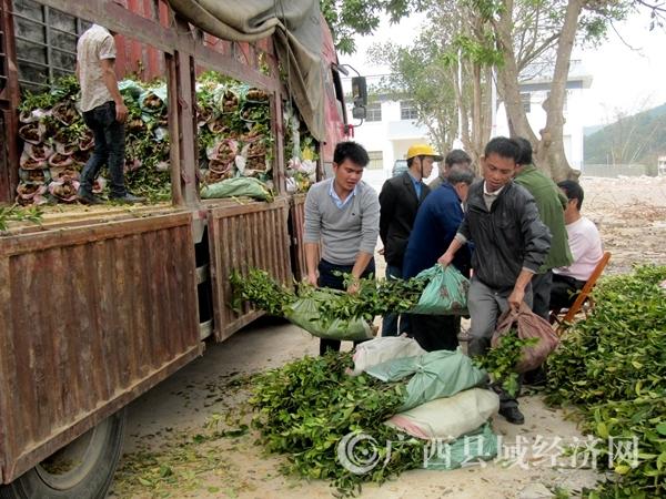 宁明县给农民免费送山油茶种苗