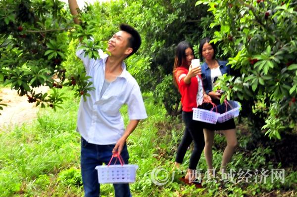 平桂管理区:乡村杨梅飘香引客来
