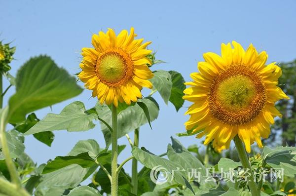 合浦七里香景区向日葵盛开迎客