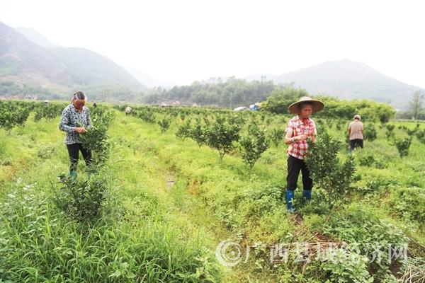 蒙山县种植砂糖桔61000多亩