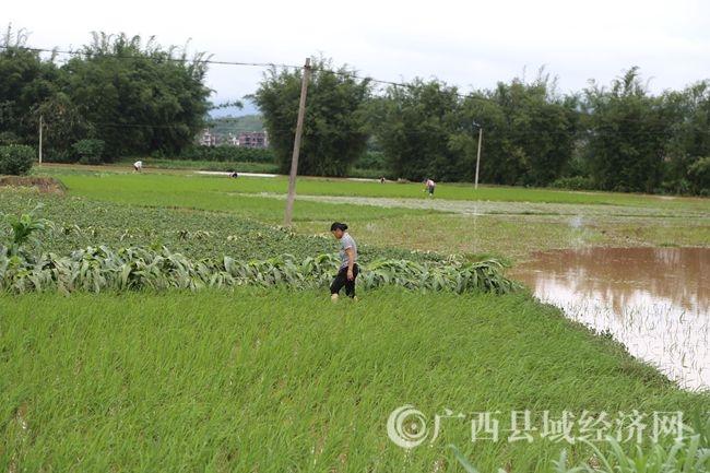5月6日,文圩镇河村村群众整理被淹的农作物,掀起生产自救1 (1)_副本.jpg