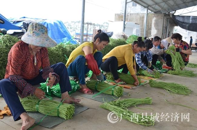 [合浦县]豇豆产销两旺 农民喜获丰收