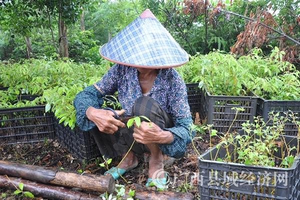 图三:工人在修剪芳樟树苗。_副本
