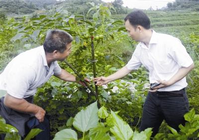 宜州市三岔镇共种下2100亩核桃