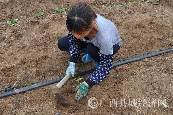 图四:工作在技术人员指导下已经掌握了种植技术。_副本