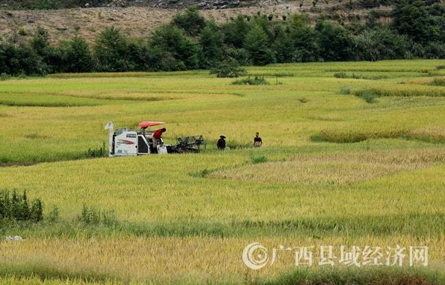 融安县15万亩早稻渐次成熟 绘出金色画卷
