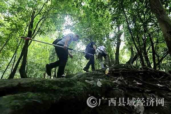 融安发现生态体系完整的原始森林