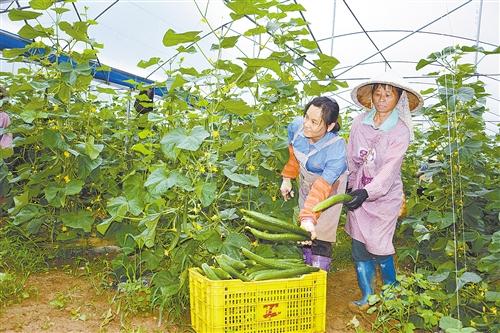 [上林县]产业扶贫大棚蔬菜助瑶家脱贫