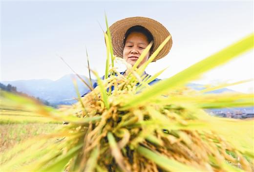 三江:收割再生稻