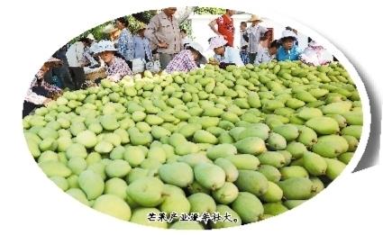 芒果产业逐年壮大