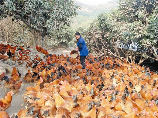 贫困群众发展林下养鸡致富