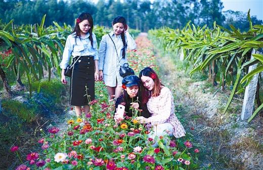 游客在博白县亚山镇民富村的大红火龙果休闲旅游基地游玩