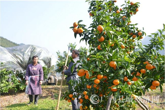 [金秀县]三江:培育水果产业 带动精准扶贫