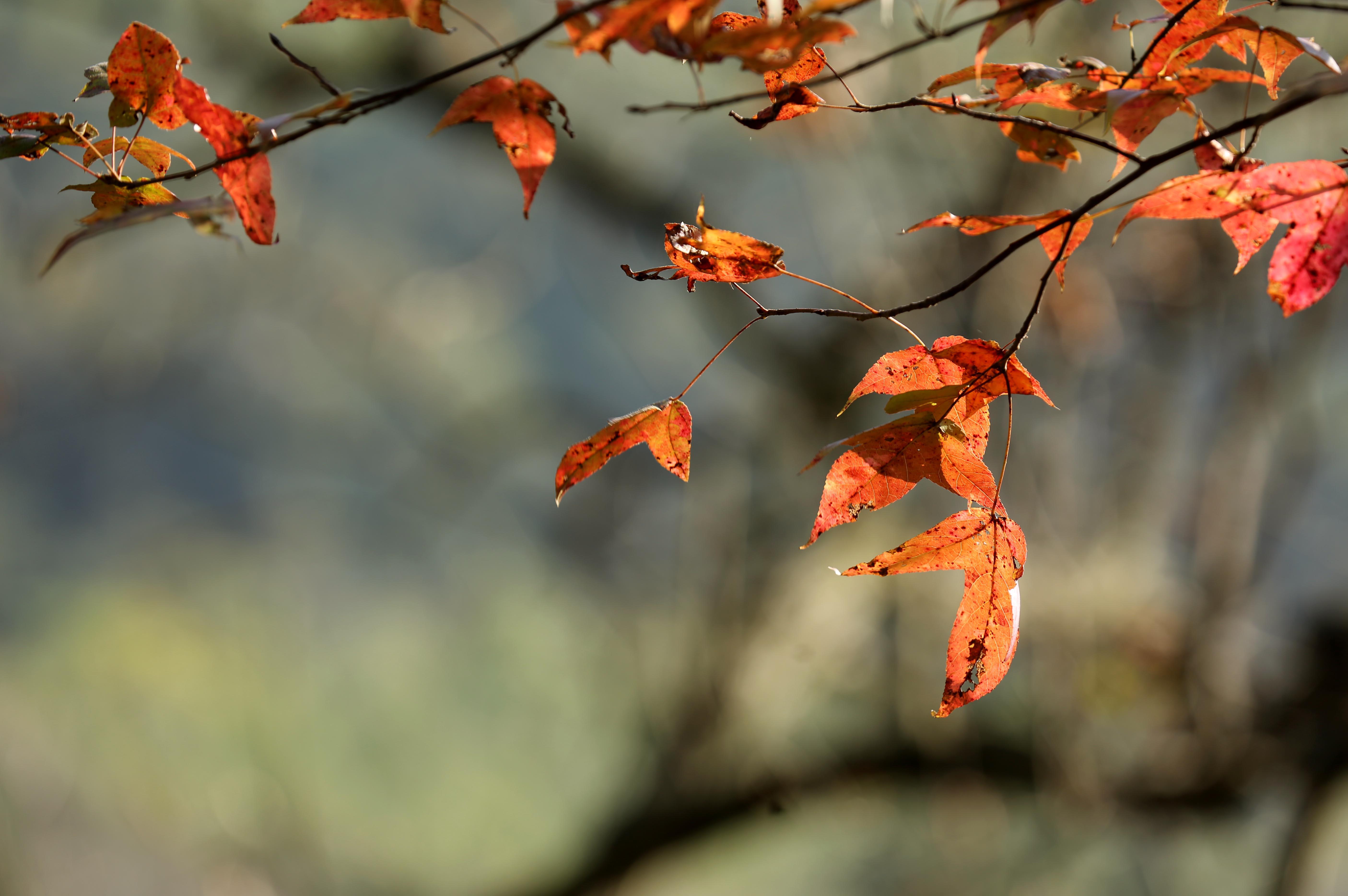 图8:12月9日,在广西柳州市融安县东起乡乐岗屯拍摄的枫叶。(谭凯兴 摄)