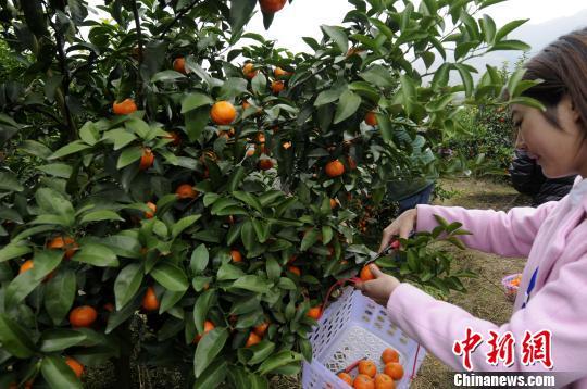 """中国长寿之乡广西永福""""富硒""""特色农产品走俏"""