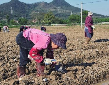 种植户在田里种植马铃薯