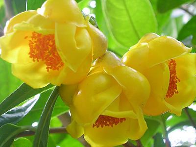 金花茶种植:繁殖方式、花期管理、病虫防治