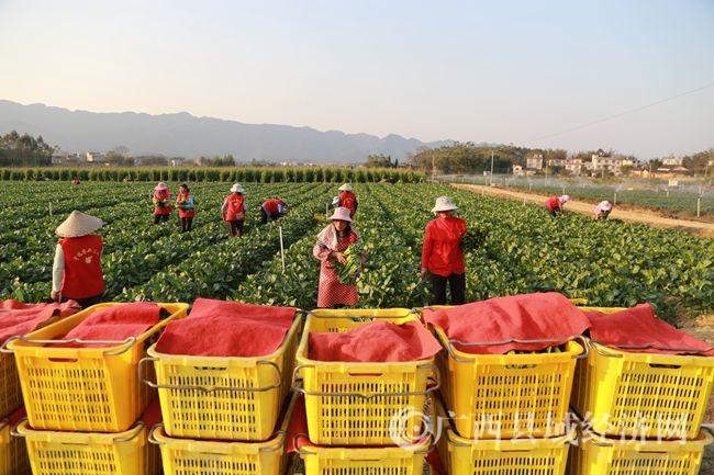 蒙山县宇远生态农业示范区采收富硒蔬菜菜心