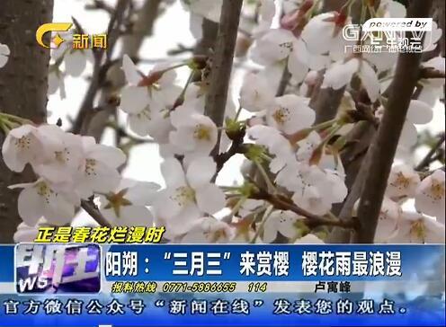 """阳朔:""""三月三""""来赏樱 樱花雨最浪漫"""