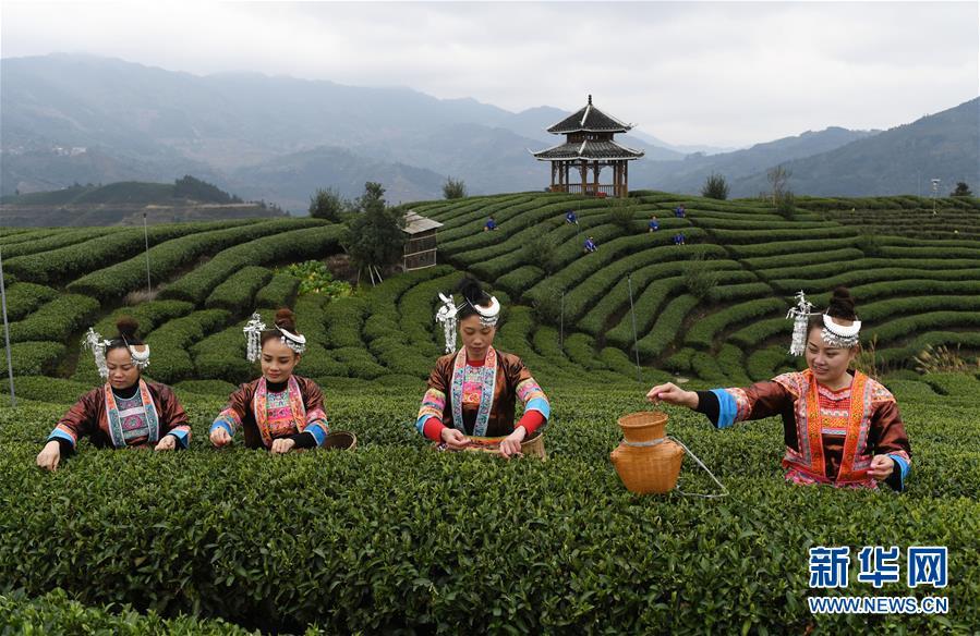 广西三江:春茶全面进入采摘期