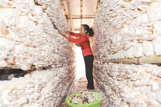 广西食用菌产业迅猛发展成百亿元产业