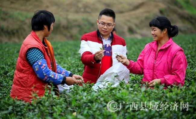 灵山县俊兴茶厂发展茶产业带领群众致富纪实:茶香情更浓