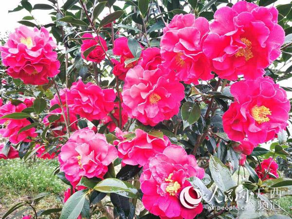 广西全州首届茶花节将于3月19日举行