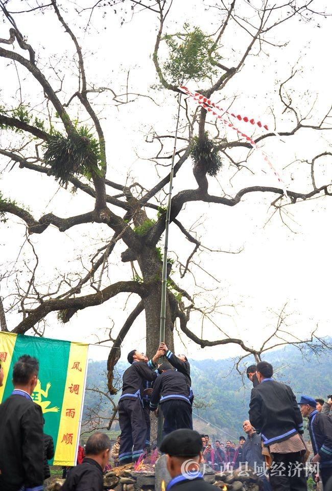 村民们为蚂拐墓竖立高幡(韦禄东 摄)