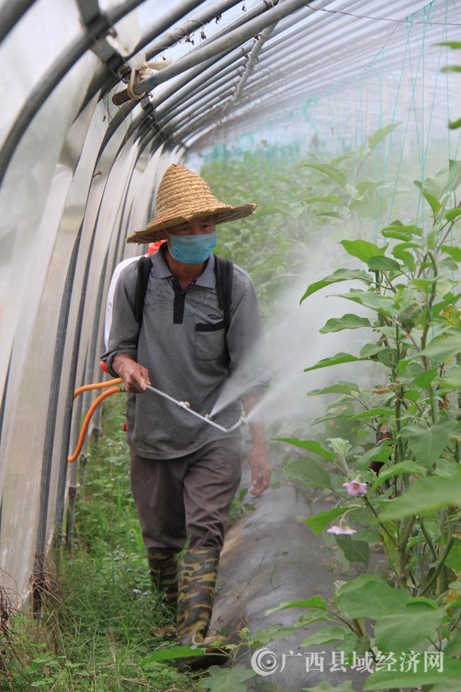 [宁明县]绿田园果蔬农民专业合作社经营面积达310亩