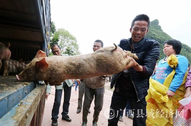 图3:4月18日,在广西柳州市融安县桥板乡古板村,贫困户代表在领取猪苗。(谭凯兴 摄)