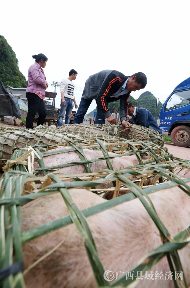图6:4月18日,在广西柳州市融安县桥板乡古板村,贫困群众将领取的猪苗装进猪笼拉回家饲养。(谭凯兴 摄)