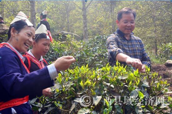 金秀县委书记韦德斌到罗香乡白牛屯调研野生茶工作